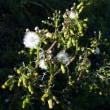 野襤褸菊(ノボロギク)の花
