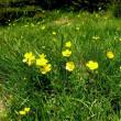 ラヌンクルス・レペンス Ranunculus repens