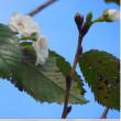 秋桜(十月桜)