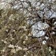 伊豆の垂れ梅