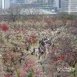 大阪城公園の梅