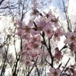 光に透ける?花2018/03/22