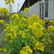 小次郎と春の草花 ーナノハナ(菜の花)ー