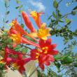 おはようの花」 突抜忍冬(つきぬきにんどう) 7月