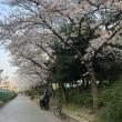 靭公園の桜 (大阪市西区)