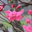 桜の次はツツジですかね?