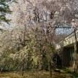 いいちこ日田蒸留所春の蔵開きで見た『しだれ桜』