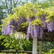 藤の花咲く