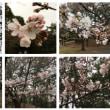 桜の木7本に花が咲きました。今日は寒いので花は長持ちします。綺麗です。