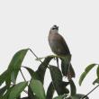 メグロヒヨドリ(目黒鵯)
