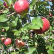 秋の味覚リンゴ食べころ