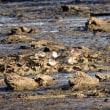 1/20探鳥記録写真(狩尾岬の鳥たち:ハマシギ、イソヒヨドリほか)