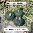 メリーポピンズなトマト(^-^)カボチャ初収穫(^O^)