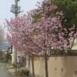 やまがた長井まちなか桜回廊 4/17