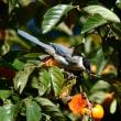 オナガ 柿の木に集う