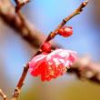 早咲きの梅・八重寒紅が数輪、咲いていました