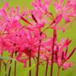 彼岸花が咲いていました ピンクの色でした
