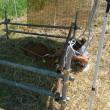 ジャージーの子牛と写真撮影
