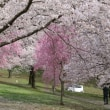 戸倉キティーランドの桜咲く