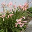 「おはようの花」 キルサンタス 3月