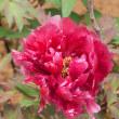 牡丹の花(Ⅱ)