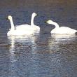 12月12日 鮫川に白鳥飛来