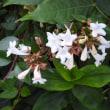 八重咲きムクゲとアベリア