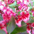 アセビの赤花