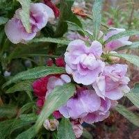 鳳仙花(ほうせんか)という花
