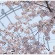 万博記念公園の桜~前編~
