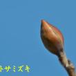 2018/02/20 庭の春 馬酔木とミスミソウ開花