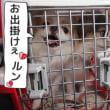 秋田犬と 【狆】に もっぱら 社会勉強中~の ラブラドール君(-_-;)