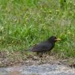 新潟の野鳥 クロツグミ