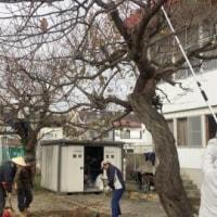 梅の剪定作業