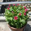 我が家の鉢花