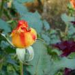バラを見に~旧古河庭園5/24 その2