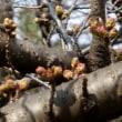今年は開花が早い?…多摩川お花見情報(平成30.3.15)