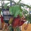 ホームセンター 食虫植物10