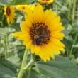 庄内緑地公園のひまわりとクマバチ