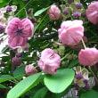 木通(あけび)という花