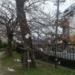 京都の桜!今週末から。。
