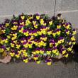 駐車場のお花達