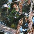 ヌートリアの朝シャン?:外来種につき和名無し:Myocastor coypus:Coypu Nutria (2019 01 18 撮影)