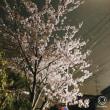 また桜の写真