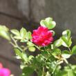 京成のバラ