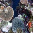 石垣のスーパーサンゴを見たことがあるかい??