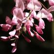 デジブック 『春日大社神苑の藤』