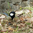 青い鳥 カワセミ、ルリビタキ
