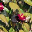 寒椿の蜜を吸うメジロの横顔