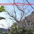 庭木の素人剪定 それなりに効果ありか?